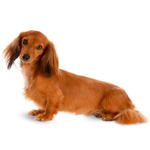 Miniature Dachshund Health Facts by Petplan | Petplan